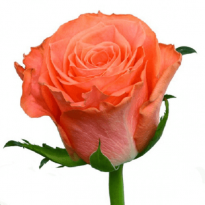 Розы 40 см за 24 руб.